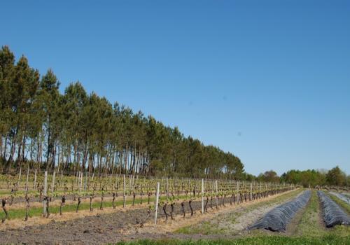 asperge-vigne-foret